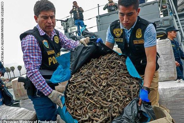 Peru tịch thu hàng triệu con cá ngựa bị đánh bắt bất hợp pháp.