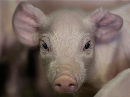 Vụ kiện lịch sử khi những con heo ở Đức ra tòa kiện về việc bị hoạn lợn