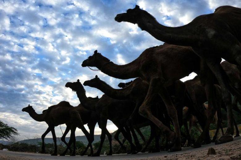5,000 con lạc đà bị tiêu diệt trong vùng hạn hán tại Úc