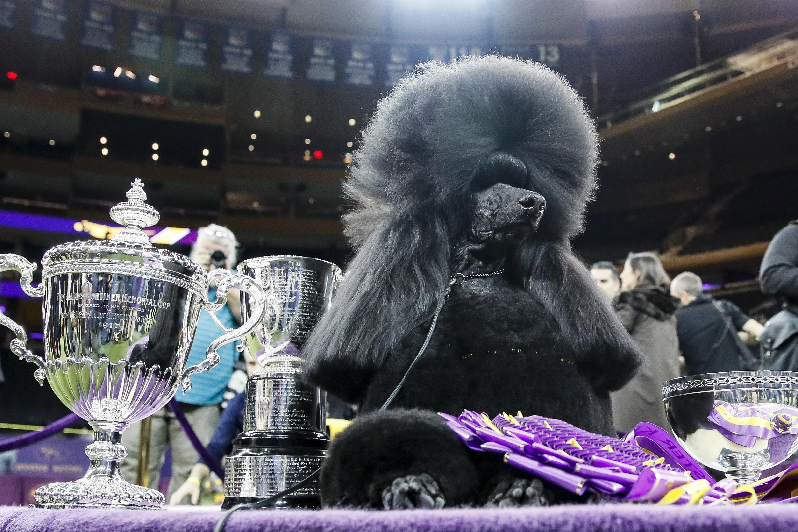 Siba, chú chó Standard Poodle đoạt giải nhất trong sự kiện Westminster Dog Show