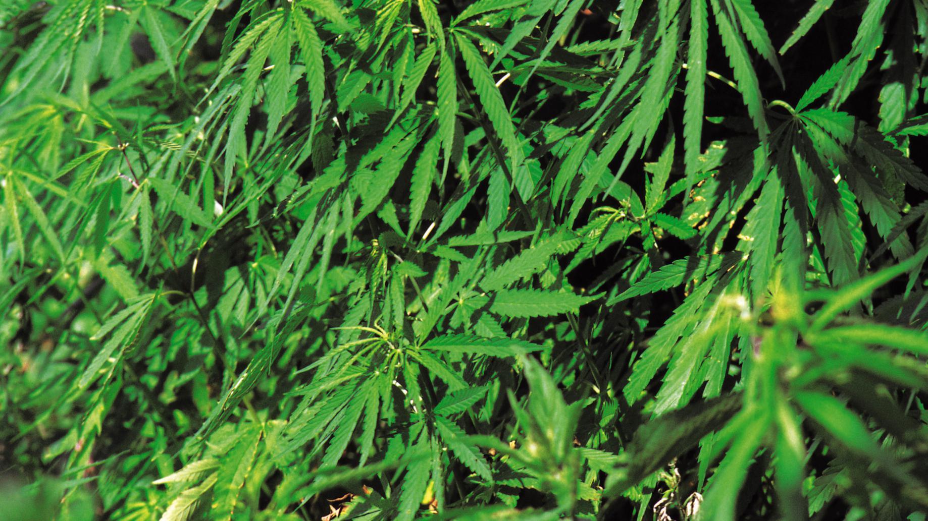 5 người bị cáo buộc liên quan đến các ngôi nhà trồng cần sa ở Tây Úc