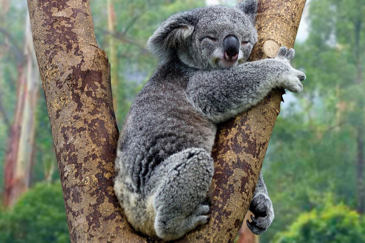 Gấu túi có thể bị tuyệt chủng ở New South Wales trước năm 2050