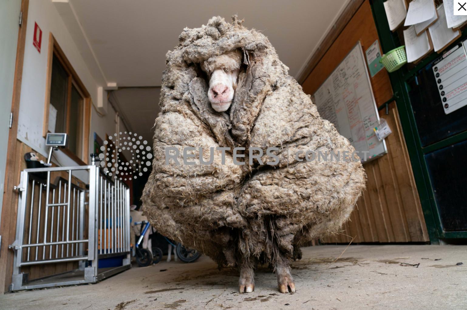 Chú cừu hoang được giải cứu ở Úc có bộ lông nặng 35 kg