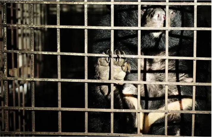 Hai con gấu được giải cứu sau khi bị giam giữ trong bóng tối suốt 17 năm ở 'trang trại mật' của Việt Nam