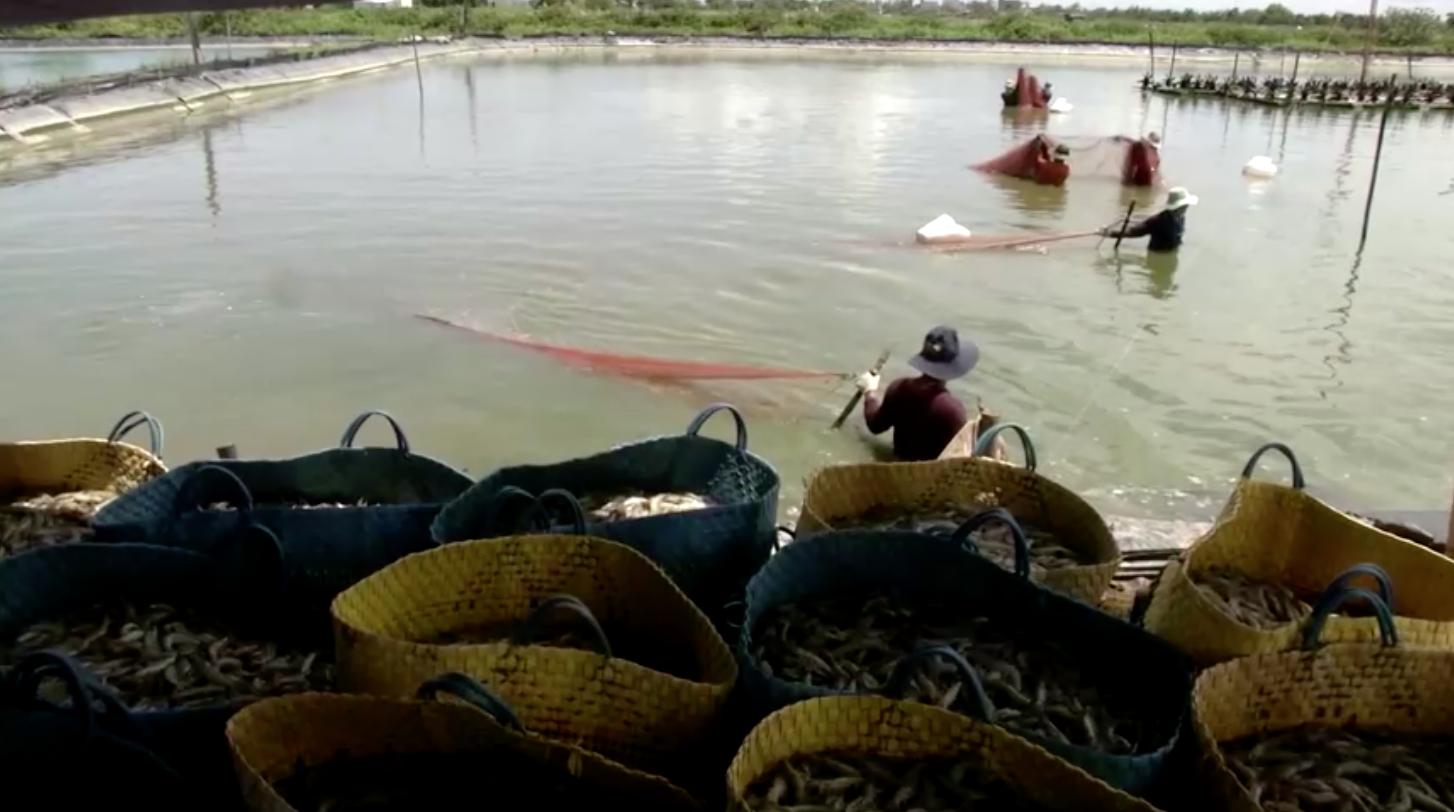 Trước những thách thức về khí hậu, nông dân trồng lúa Việt Nam chuyển sang nuôi tôm
