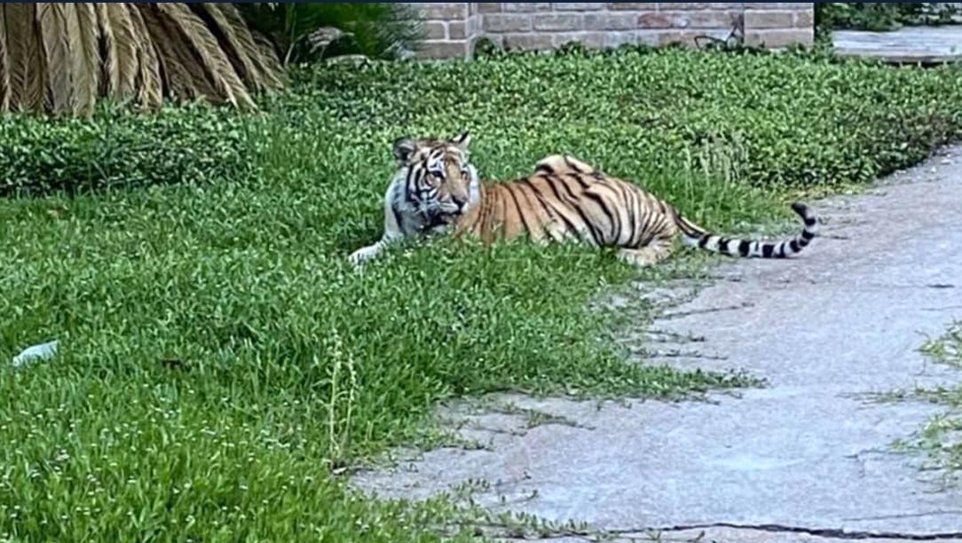 Một con hổ mất tích trong suốt một tuần đã được tìm thấy an toàn
